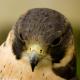 Falcon_Paiva